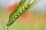 Getreide vor einer Mohnpflanze,freigestellt