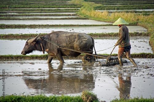 Poster Birmanie, attelage à buffle dans les rizières du lac Inle