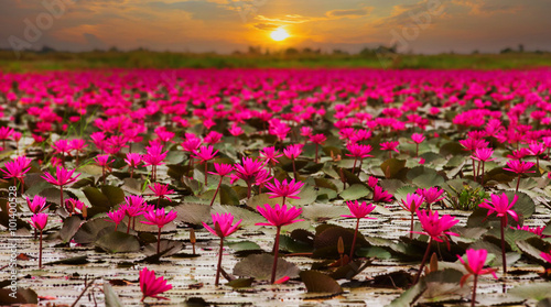 Papiers peints Zen Sunshine rising lotus flower in Thailand