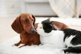 Fototapety Beautiful cat and dachshund dog on rug, indoor
