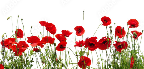 red poppies on white Poster
