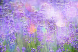 Fototapety lavender on a field in detail