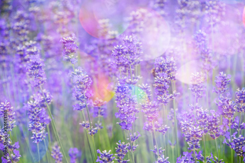 Fototapeta lavender on a field in detail