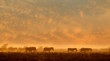 Plains Zebras (Equus burchelli) walking in dust at sunrise, Etosha National Park, Namibia.