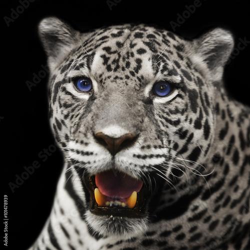 Fototapeta Closeup leopard jaguar staring at the camera.