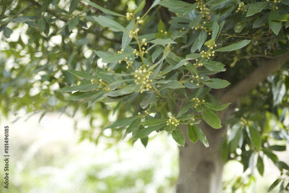 月桂樹の木