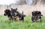 Three German Shepherd Puppies playing