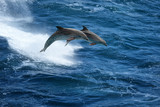 Jumping dolphins in stormy sea