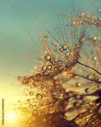 Obraz Dewy dandelion flower at sunrise close up. Natural backgrounds.