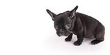 sad female brindle French Bulldog