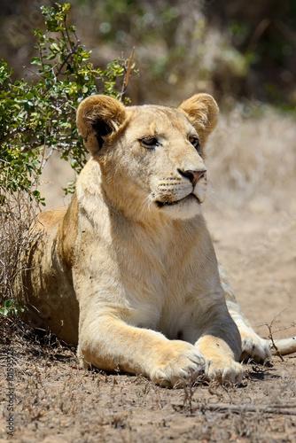 Fototapeta Lion in National park of Kenya, Africa