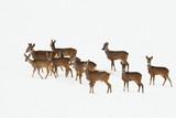 roe deers in a winter day