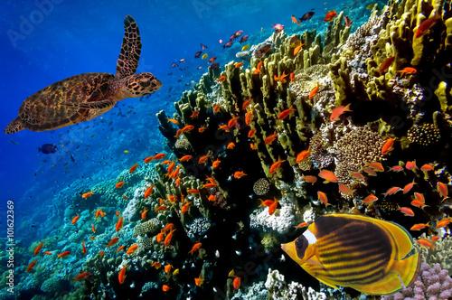 zolw-morski-plywanie-wzdluz-tropikalnej-rafy-koralowej