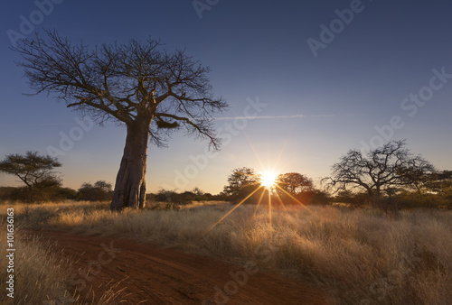Papiers peints Baobab Large baobab tree without leaves at sunrise with clear sky