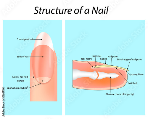 Structure Of A Nail Nail Anatomy Buy Photos Ap Images