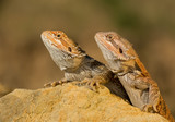 Two central bearded dragons, on yellow rock, with clean background, Czech Republic
