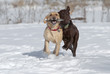 Yellow and Chocolate Labrador Retrievers fetching a stick in the snow.