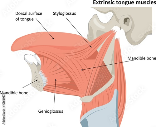 """Musculus Chondroglossus"" Stock image and royalty-free ..."