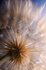 big dandelion on a blue background © Chepko Danil