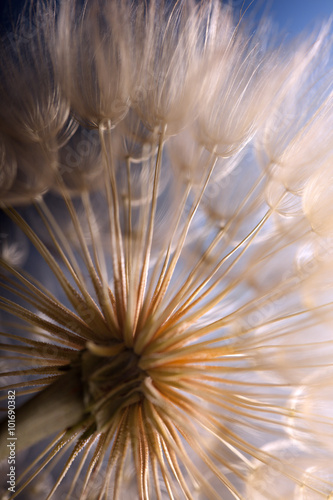 big dandelion on a blue background