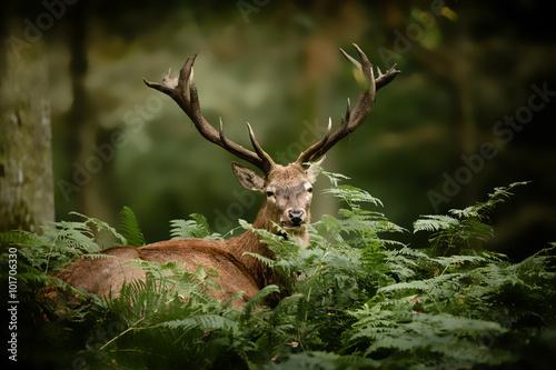cerf brame chasse bois mammifère roi forêt cervidé fougère s - 101706330