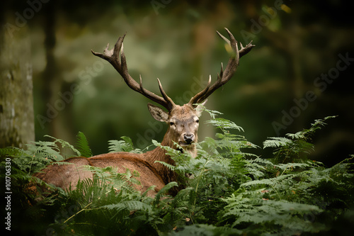 Fotobehang Hert cerf brame chasse bois mammifère roi forêt cervidé fougère s