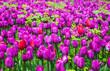 Obrazy na płótnie, fototapety, zdjęcia, fotoobrazy drukowane : Blue tulips with mimosa and butterfly