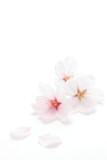 桜のクローズアップ  - Fine Art prints