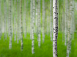 birch tree in forest - 101725193