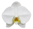 white phalaenopsis orchid flower isolated on white with clipping