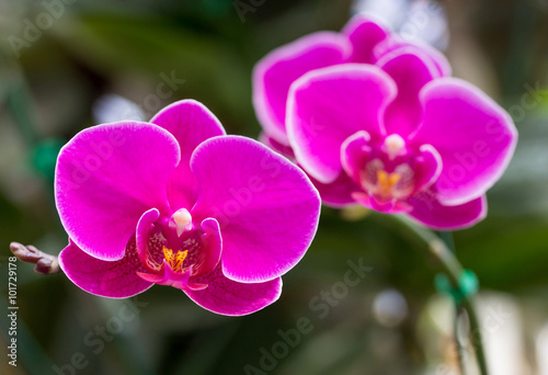 Panel Szklany Pink phalaenopsis orchid flower