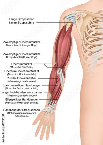 GamesAgeddon - Anatomie des menschlichen Arms, Vorderansicht ...