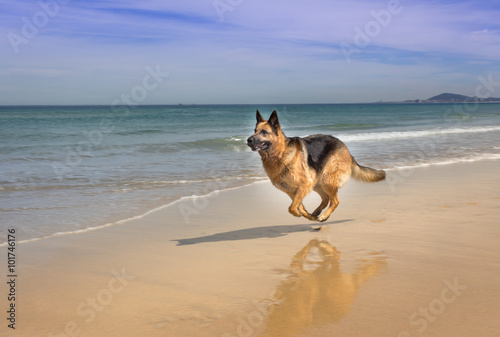 Poszter German Shepherd dog running on the beach