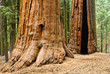Giant Sequoia, Sequoia NP