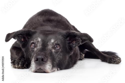 Poster Schwarzer alter Hund Mischling liegt müde auf Boden und wartet