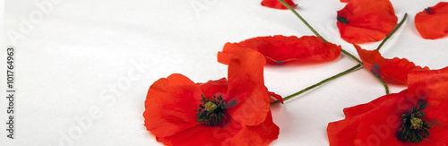 Fotobehang Klaprozen Poppies - for Remembrance Day - Isolated on White - Panorama background texture.
