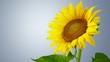 Obrazy na płótnie, fototapety, zdjęcia, fotoobrazy drukowane : Sunflower.