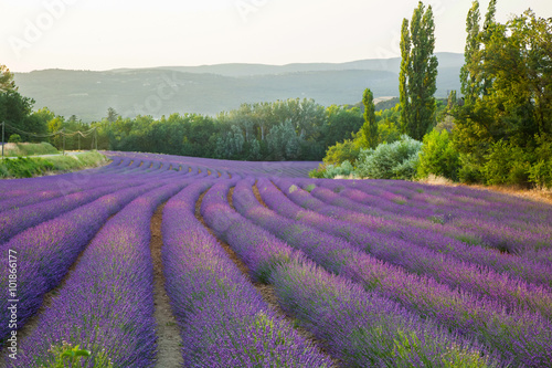Fields of lavender Provence France - 101866177