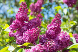Flowering branch of lilac - 101873720