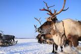 Reindeer against the blue sky