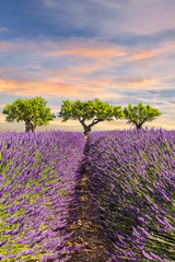 Lavender field with three trees and coloful sky