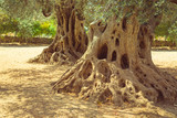 Big old olive tree roots and trunk
