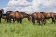Obrazy na płótnie, fototapety, zdjęcia, fotoobrazy drukowane : brown horses livestock