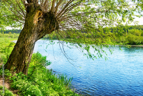 Fototapeta Big old tree on the river bank