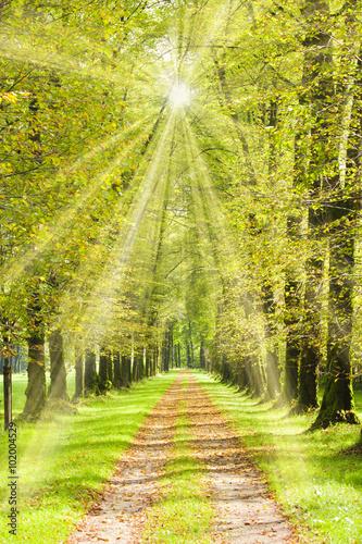 Fototapeta Baumallee mit Weg im Frühling und mit Sonnenschein