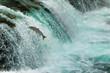 Salmon Jumping Waterfall Alaska