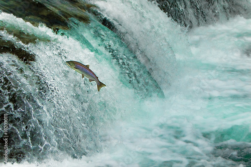 Salmon Jumping Waterfall Alaska - 102030111