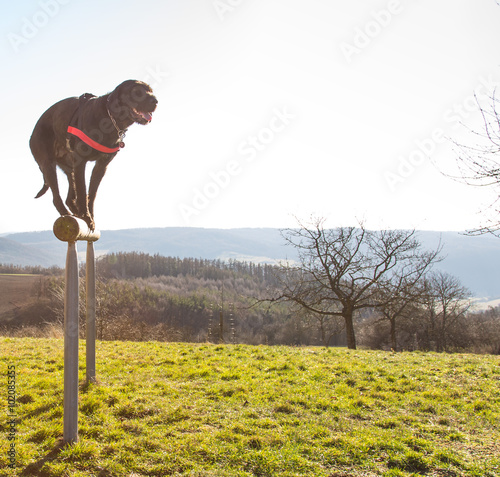 Beautiful mutt black dog Amy balancing on wooden rod