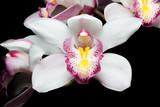 Fototapety Beautiful white Cymbidium orchid flowers over black background