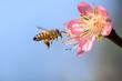 Obrazy na płótnie, fototapety, zdjęcia, fotoobrazy drukowane : Honeybee flying to Desert Gold Peach Flower